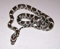 corn_snakes_for_sell_2_012.JPG