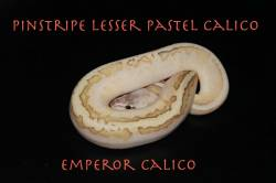 Emperor_Calico_1.JPG